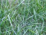 Lawn Diseases - Powdery Mildew
