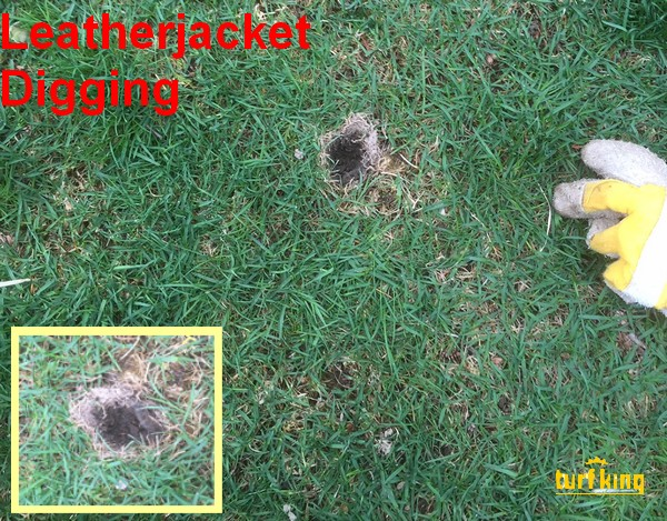 Animals Dig for Leatherjackets