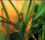 Lawn Diseases- Leaf Spot & Melting Out
